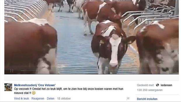 Erpse koeien zijn een hit op internet